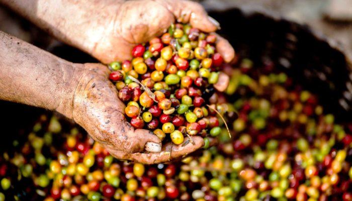Kaffee-Kirschen-Espresso-Organic